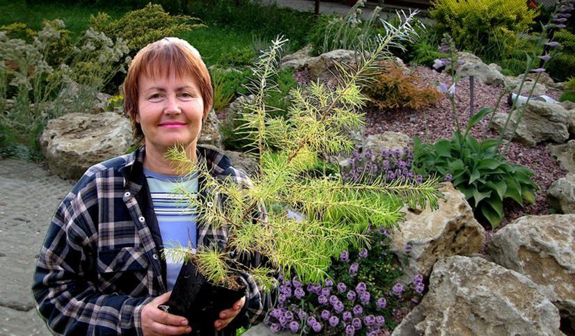 субстрат для хвойніх растений